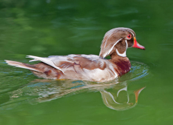 Albino Wood Duck